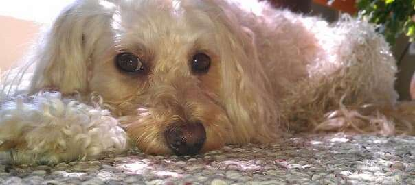 Carpet Preservation Tips for Dog Owners