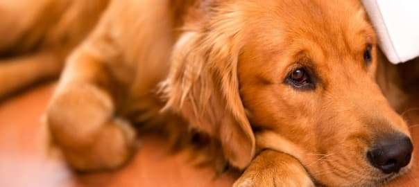 How Pet Odors in Carpet Affect Health - All Kleen Carpet Cleaning